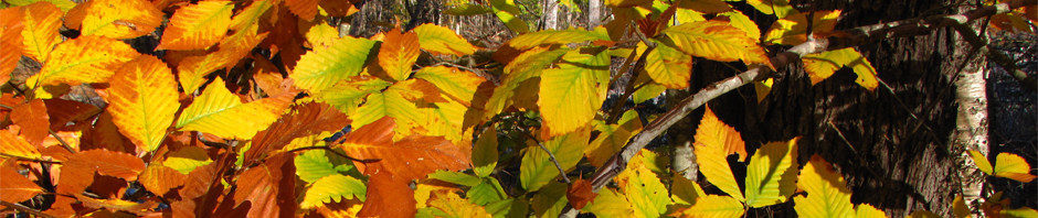 American beech in fall